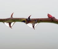 Thorn Royalty Free Stock Photo