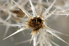 Thorn. Shrub closeup Royalty Free Stock Photos
