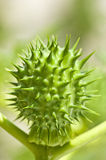 Thorn-apple Royalty Free Stock Photos