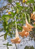 Thorn Apple (datura fastuosa L ) fiore Immagine Stock