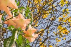 Thorn Apple (datura fastuosa L ) fiore Fotografia Stock
