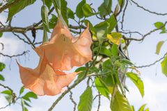 Thorn Apple (Stechapfel fastuosa L ) Blume Lizenzfreie Stockbilder