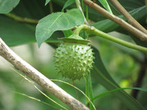 Thorn Apple vinkelthumpet medicinal växter Royaltyfri Fotografi