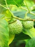 Thorn Apple vinkelthumpet medicinal växter Royaltyfri Foto