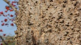 Thorn of Bombax ceiba tree. stock video footage