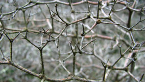 Thorn Branch Detail Royalty Free Stock Photography