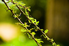 Thorn Branches. In the African bush Royalty Free Stock Photos