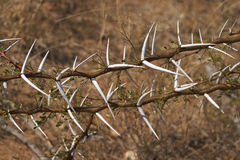 Thorn branches royalty free stock photo