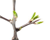 Thorn and buds Stock Photography