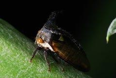 Thorn Bug. A macro photo of a thorn bug tree hopper Stock Photo