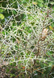 Thorn bush. Royalty Free Stock Images