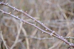 Thorn Bush Plant Images libres de droits