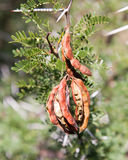 Thorn bush seeds among green leaves Stock Images