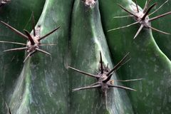 Thorn of Cactus Royalty Free Stock Photo