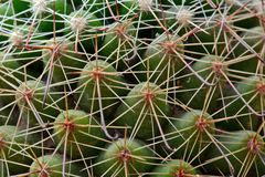Thorn of Cactus Stock Image