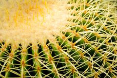 Thorn Cactus Background. Closeup thorn of circle cactus, plant texture and background stock photo
