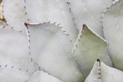 Thorn of cactus in detail. Patern of thorn of cactus in detail royalty free stock photo