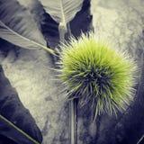 Thorn. Chestnut thorn and leaf Stock Photos