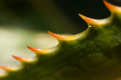 Thorn Royalty Free Stock Photography