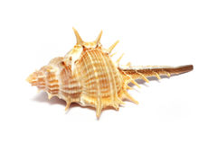 Thorn Conch Shell Stock Images
