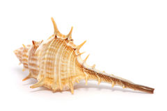 Thorn Conch Shell Stock Photo