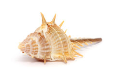 Thorn Conch Shell Stock Photography