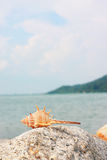 Thorn Conch Shell On The Rock Stock Photos