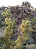 Thorn Flower lizenzfreies stockfoto