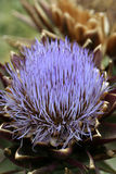 Thorn Flower Thistle Close up. With blurred background Stock Photos