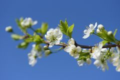 Thorn flowers closeup on blue sky background in sunny day. Stock Photography