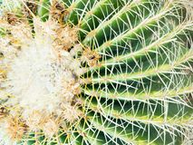Thorn of Golden barrel cactus or Echinocactus grusonii , its body look like the green ball and white flower, close up. Thorn of Golden barrel cactus or stock photo