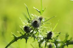 Thorn grass in the green grass in the sun Royalty Free Stock Image