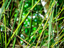 thorn of green bamboo in summer season Royalty Free Stock Photography