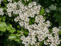 Leaves and white flowers on hedge stock photo image of enwind thorn hedge wirh white flowers royalty free stock photo mightylinksfo