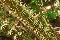 Thorn Palm Tree (Zalacca Tree)