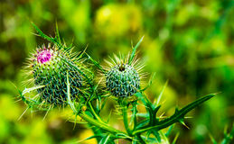 Thorn and Picker Covered Thistle Bud. Growing in the middle of a North American meadow are two thistle buds awaiting to turn into a beautiful purple or lavender royalty free stock photography