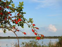 Thorn plant with red fruits Royalty Free Stock Image