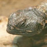 Thorn-tailed Agama 2 Stock Photos