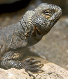 Thorn-tailed Agama 5 Stock Images
