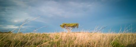 Thorn Tree Royaltyfri Fotografi
