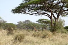Thorn tree on an african plain. With giraffe in the background Stock Images