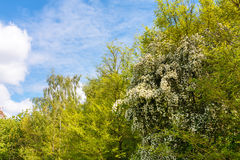 Thorn tree blossom on edge of forest Stock Photo