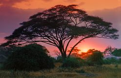 Thorn tree at dawn. African thorn tree (Acacia) silhouetted by crimson sunrise Royalty Free Stock Photography