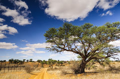 A thorn tree and dirt road on a Kalahari farm. A beautiful view of a camel thorn tree on a Kalahari farm with a dirt road and fence on a sunny day with a blue Royalty Free Stock Photo