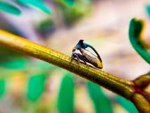 Thorn Tree-hopper Stock Photo
