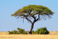 Thorn tree landscape - Etosha Royalty Free Stock Photo