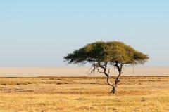 Thorn tree landscape - Etosha Stock Photography
