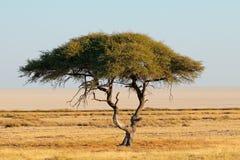 Thorn tree landscape - Etosha Royalty Free Stock Images