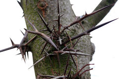 Thorn tree Royalty Free Stock Images