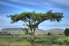 Thorn Tree in Natal. African acacia thorn in the  plains of the highveld Royalty Free Stock Photo
